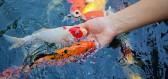 Jak krmit ryby v zahradním jezírku