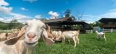 Farma pod Ještědem je specialistou na kozí výrobky