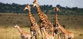 Žirafa nově rozšířila seznam zvířat, kterým hrozí vyhynutí