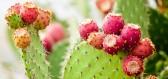 Poznejte blahodárné účinky kaktusových plodů na posílení imunity