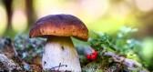 Češi jsou národem houbařů.  Žádná jiná země si z tohoto koníčku nevybudovala takovou vášeň.
