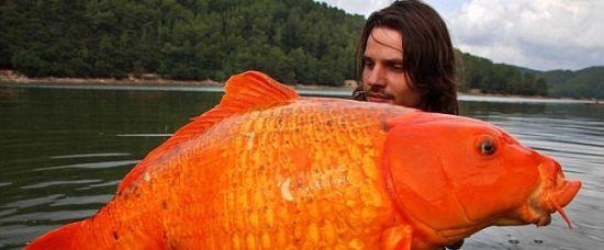 Rybář chytil obří zlatou rybku