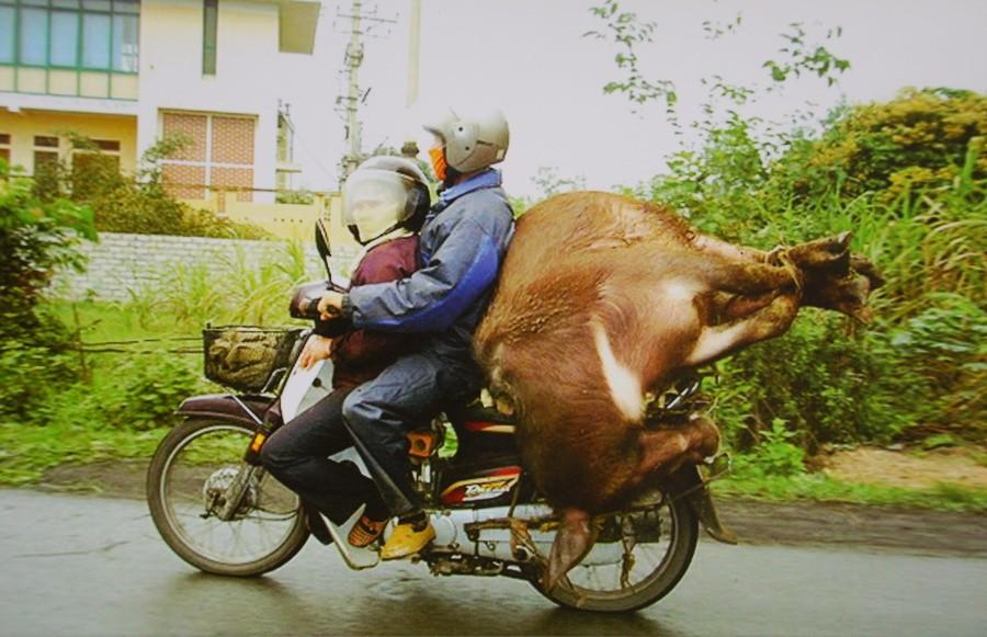 Kráva spolujezdkyně